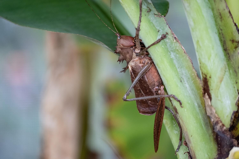 Lesina Weibchen